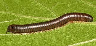 (Ελληνικά) Diplopoda