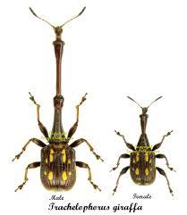 trachelophorus-girffa-3